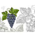 Grapes in vintage engraved style vector image