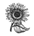 sunflower vintage engraved sunflower vector image vector image