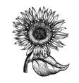 sunflower vintage engraved vector image vector image
