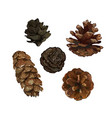 pine cone pinecone set isolated on white vector image