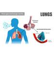 pulmonary alveoli enable respiratory gas excha vector image vector image