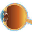 structure of human eye section vector image vector image
