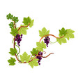 vine or grapes bunches on branch isolated icon vector image vector image