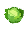 cabbage with big bright green leaves fresh and vector image vector image