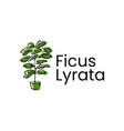 fiddle leaf fig ficus lyrata logo icon vector image