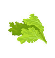 bright green lettuce leaves fresh and healthy vector image