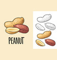 whole and half peanut seed with and without shell vector image vector image