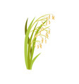 ears of oats green cereal plant organic vector image