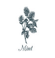 mint hand drawn aromatic vector image vector image