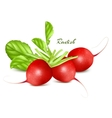 Fresh radishes vector image vector image