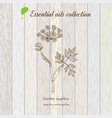 pure essential oil collection angelica wooden vector image vector image