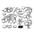 olive set hand drawn of vector image