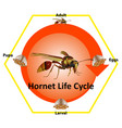 life cycle hornet most them live on vector image vector image