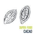 cacao beans super food hand drawn sketch vector image vector image