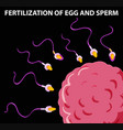diagram showing fertilization of egg and sperm vector image vector image