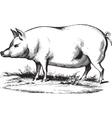 Swine 2 vector image vector image