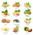 nuts and seeds raw peanut macadamia nut and vector image