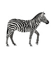 zebra isolated on white vector image