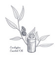 drawing eucalyptus essential oil vector image vector image