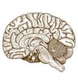 engraving human brain vector image