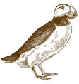 engraving antique horned puffin vector image vector image