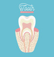 tooth anatomy dental care on color poster vector image