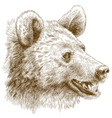 engraving of bear head vector image