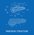 structure of a pancreatic gland vector image vector image