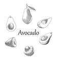 avocado hand drawing engraving style vector image vector image