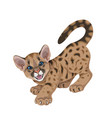 angry cougar cub isolated vector image