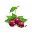 three cherries with green vector image vector image