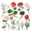 geranium tulip and other wild flowers isolated vector image