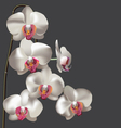 White Flower Moth Orchid vector image