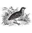 common quail vintage vector image vector image