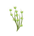 poppy plant ingredient to condiment of food vector image vector image