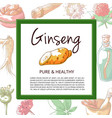 ginseng hand drawn banner isolated vector image