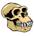 ape skull vector image vector image