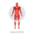 muscular system isolated human body anatomy vector image