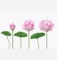 realistic lotus pink water flower blooming pink vector image vector image