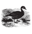brent goose vintage vector image vector image