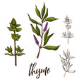detailed retro image of thyme ink sketch isolated vector image