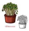 watercress salad vegetable sketch vector image vector image