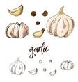 detailed retro image of garlic ink sketch vector image