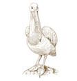 engraving of big pelican vector image vector image