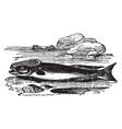 remora fish vintage vector image vector image