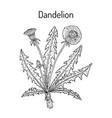 common dandelion taraxacum officinale medicinal vector image