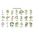 best herbs for flu treatment vector image vector image