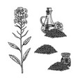 hand drawn set plant rape vintage vector image vector image
