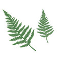 set of green fern isolated on white vector image