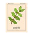 asthma-plant euphorbia or garden spurge